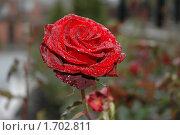 Роса на розе. Стоковое фото, фотограф Savenkova Natalia Anatolievna / Фотобанк Лори