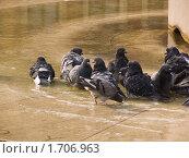 Купить «Скалистый голубь принимает ванну», фото № 1706963, снято 6 августа 2007 г. (c) Сергей Кандауров / Фотобанк Лори