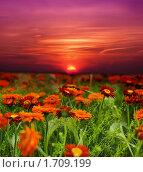 Купить «Закат над полем с цветами», фото № 1709199, снято 21 марта 2010 г. (c) Литова Наталья / Фотобанк Лори