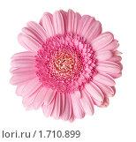 Розовая гербера, изолировано на белом фоне. Стоковое фото, фотограф Татьяна Метельская / Фотобанк Лори