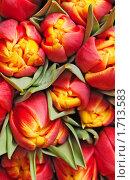 Купить «Красные тюльпаны», фото № 1713583, снято 4 марта 2010 г. (c) Максим Лоскутников / Фотобанк Лори