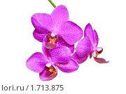Орхидея в росе на белом фоне. Стоковое фото, фотограф Анатолий Соловьев / Фотобанк Лори