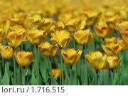 Купить «Желтые тюльпаны», фото № 1716515, снято 16 мая 2010 г. (c) Екатерина Тарасенкова / Фотобанк Лори