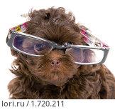 Щенок цветной болонки в очках. Стоковое фото, фотограф Vladimir Suponev / Фотобанк Лори