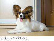 Купить «Собака породы папильон с высунутым языком лежит на полу», фото № 1723283, снято 25 апреля 2010 г. (c) Сергей Лаврентьев / Фотобанк Лори