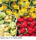 Купить «Тюльпаны», фото № 1725235, снято 4 марта 2010 г. (c) Максим Лоскутников / Фотобанк Лори
