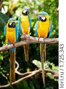 Купить «Три попугая», фото № 1725343, снято 28 марта 2009 г. (c) Gennadiy Poznyakov / Фотобанк Лори
