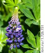 Купить «Фиолетовый люпин», фото № 1726151, снято 22 мая 2010 г. (c) Екатерина Овсянникова / Фотобанк Лори