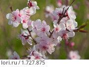 Купить «Ветка цветущего дикого даурского абрикоса (Armeniaca sibirica Pers)», фото № 1727875, снято 25 мая 2010 г. (c) Геннадий Соловьев / Фотобанк Лори
