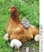 Курица с цыплятами на зеленой траве. Стоковое фото, фотограф Лилия / Фотобанк Лори