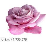 Купить «Сиреневая роза», фото № 1733379, снято 3 июня 2008 г. (c) Елена Руденко / Фотобанк Лори