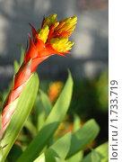 Купить «Вриезия (Vriesea), комнатный цветок», эксклюзивное фото № 1733719, снято 17 января 2010 г. (c) Svet / Фотобанк Лори