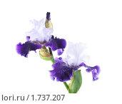 Купить «Сине-белый ирис с капельками воды на белом фоне», фото № 1737207, снято 29 мая 2010 г. (c) Наталья Волкова / Фотобанк Лори