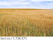 Купить «Поле с созревшим овсом», фото № 1738571, снято 22 августа 2009 г. (c) Алёшина Оксана / Фотобанк Лори