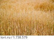 Купить «Поле с созревшим овсом», фото № 1738579, снято 22 августа 2009 г. (c) Алёшина Оксана / Фотобанк Лори