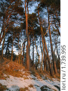Сосны. Стоковое фото, фотограф Svet / Фотобанк Лори