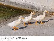 Три утенка. Стоковое фото, фотограф Александр  Новоселов / Фотобанк Лори