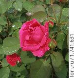 Розы после дождя. Стоковое фото, фотограф Леонид Дудко / Фотобанк Лори