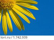 Купить «Дороникум (Doronicum)», эксклюзивное фото № 1742939, снято 23 мая 2010 г. (c) Александр Алексеев / Фотобанк Лори