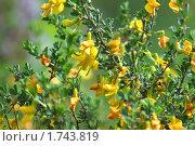 Купить «Цветение степного растения карагайник», фото № 1743819, снято 30 мая 2010 г. (c) Вера Тропынина / Фотобанк Лори