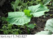 Купить «Молодое растение огурца», фото № 1743827, снято 30 мая 2010 г. (c) Вера Тропынина / Фотобанк Лори