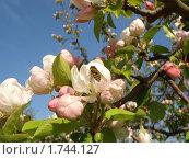 Май. Оса опыляет цветок яблони. Стоковое фото, фотограф Александр Новиков / Фотобанк Лори