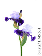 Купить «Сине-голубые ирисы на белом фоне», фото № 1745651, снято 29 мая 2010 г. (c) Наталья Волкова / Фотобанк Лори