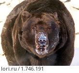 Купить «Бурый медведь», фото № 1746191, снято 25 февраля 2007 г. (c) Михаил Борсов / Фотобанк Лори