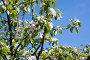 Цветущая яблоня, фото № 1746587, снято 31 мая 2010 г. (c) Катерина Макарова / Фотобанк Лори