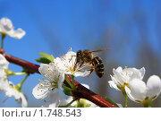 Купить «Пчела за работой», фото № 1748543, снято 8 мая 2010 г. (c) Андрей Соловьев / Фотобанк Лори