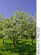 Яблоневый сад. Стоковое фото, фотограф Струкова Светлана / Фотобанк Лори