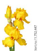 Купить «Желтые ирисы на белом фоне с каплями росы», фото № 1752447, снято 29 мая 2010 г. (c) Наталья Волкова / Фотобанк Лори