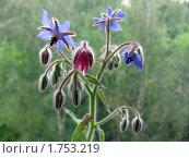 Купить «Цветы огуречной травы», фото № 1753219, снято 28 мая 2010 г. (c) Светлана Клюева / Фотобанк Лори