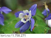 Купить «Сине-белые цветы», фото № 1758271, снято 28 мая 2010 г. (c) Татьяна Кахилл / Фотобанк Лори