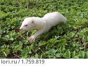 Хорек альбинос в траве. Стоковое фото, фотограф Галина Гаврилова / Фотобанк Лори