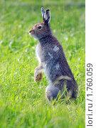 Купить «Заяц русак», фото № 1760059, снято 8 июня 2010 г. (c) Михаил Борсов / Фотобанк Лори