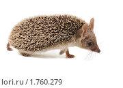 Купить «Ушастый ежик идет. Профиль», фото № 1760279, снято 8 июня 2010 г. (c) Ирина Кожемякина / Фотобанк Лори