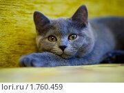 Кошка-мурлыка. Стоковое фото, фотограф Анастасия Шелестова / Фотобанк Лори