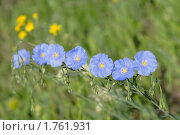 Купить «Цветы лена», фото № 1761931, снято 3 мая 2010 г. (c) Александр Куличенко / Фотобанк Лори