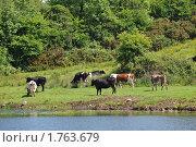 Стадо коров на лугу рядом с речкой. Стоковое фото, фотограф Татьяна Кахилл / Фотобанк Лори