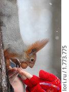 Купить «Белка-обжора», фото № 1773775, снято 4 января 2009 г. (c) Анна Мартынова / Фотобанк Лори