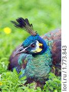 Купить «Обыкновенный павлин (Pavo cristatus)», фото № 1773843, снято 8 июня 2010 г. (c) Михаил Борсов / Фотобанк Лори