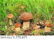 Белые грибы в зеленой траве. Стоковое фото, фотограф Юрий Морозов / Фотобанк Лори