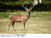 Купить «Благородный олень», фото № 1778967, снято 19 августа 2009 г. (c) Максим Горпенюк / Фотобанк Лори