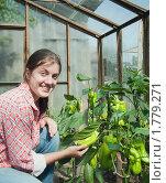 Купить «Девушка собирает зеленый перец в теплице», фото № 1779271, снято 22 августа 2009 г. (c) Яков Филимонов / Фотобанк Лори