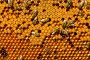 Соты с пергой и пчелиным расплодом, фото № 1780091, снято 13 июня 2010 г. (c) Андрей Давиденко / Фотобанк Лори