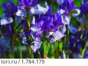 Купить «Ирис сибирский (Iris sibirica)», эксклюзивное фото № 1784179, снято 12 июня 2009 г. (c) Алёшина Оксана / Фотобанк Лори