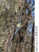 Купить «Большая синица, или большак (Parus majo)», эксклюзивное фото № 1784531, снято 4 мая 2009 г. (c) Алёшина Оксана / Фотобанк Лори