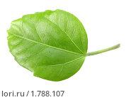 Купить «Зеленый лист», фото № 1788107, снято 20 июня 2010 г. (c) Boroda / Фотобанк Лори