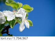 Цветущая яблоня. Стоковое фото, фотограф Мария Калиниченко / Фотобанк Лори
